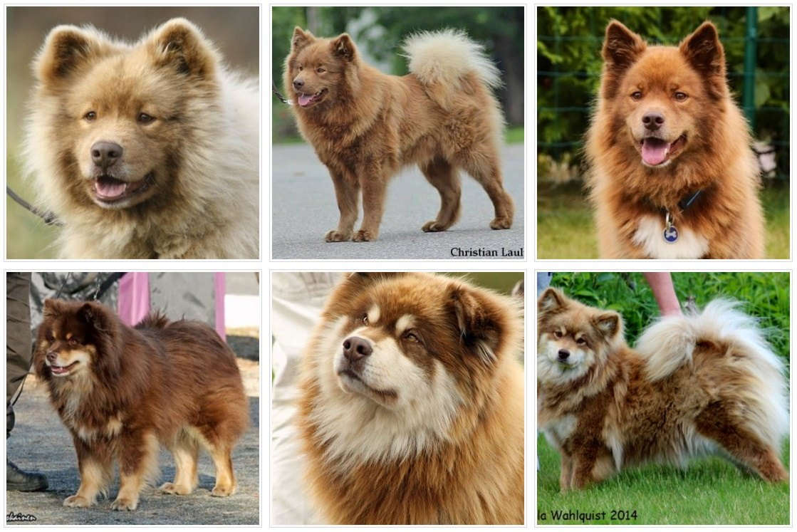 Brown Finnish Lapphunds